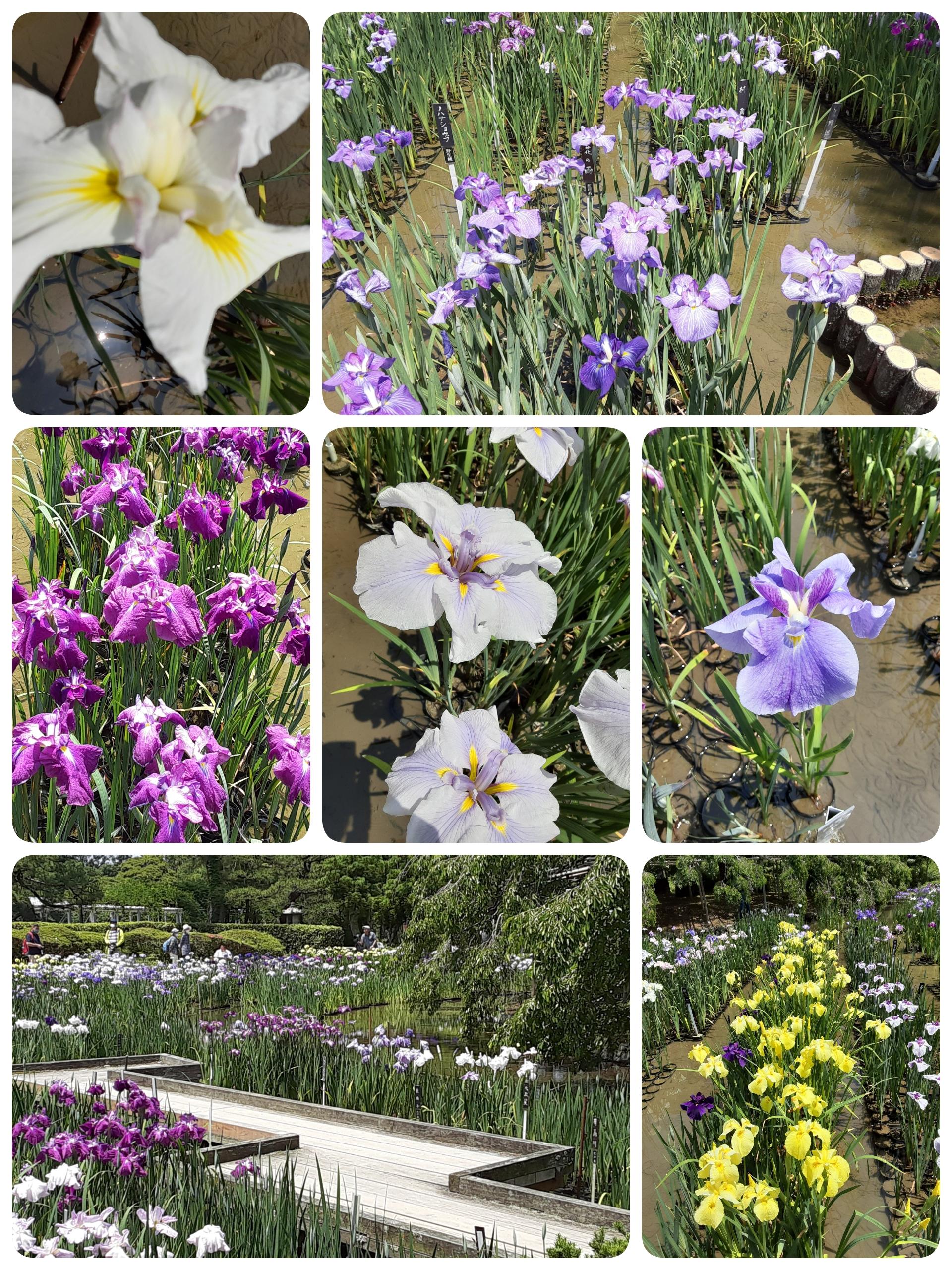 初夏の花、ハナショウブを見に府立植物園へいきました🎶💜💛💚